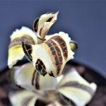 Anoectochilus sp.'Variegata' White-Yellow Type