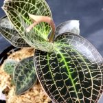 Doosinia marmorata -ボーダーブレイク入手株