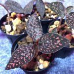 Microchilus tridax from Ecuador