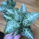 Goodyera daibuzanensis from Taiwan