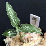 Platythelys cf. maculata Ecuador