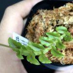 Crepidium cf. commelinifolium from Borneo 緑タイプ(旧:Malaxis commelinifolia from Borneoラベル)