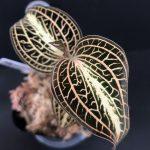 Anoectochilus albolineatus variegata,Nakhon Si Thammarat, Thailand
