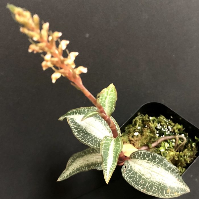 Goodyera hachijoensis - ハチジョウシュスラン (主脈斑+網状脈タイプ)